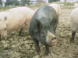 CO-OP産直ふるさと豚
